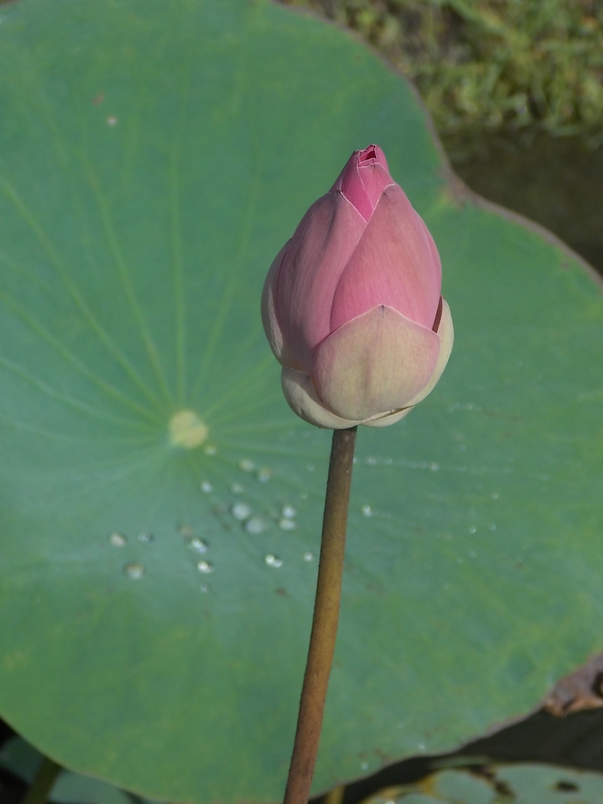 The Mystique Of A Lotus Holly Walker Artist